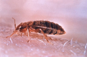 Bed Bugs in Fountain Gardens